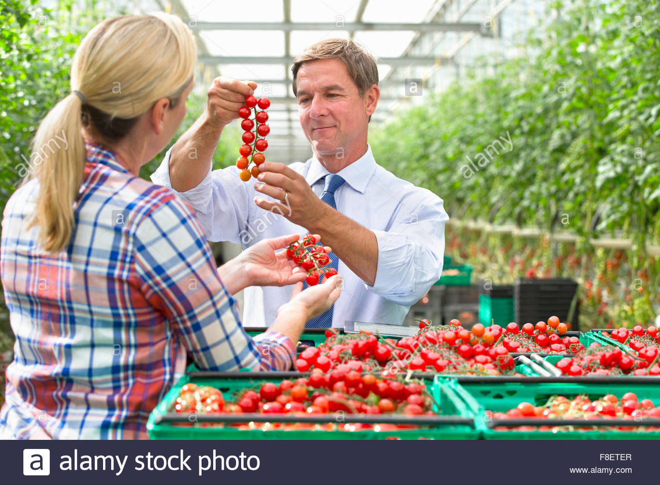 Growers inspecting ripe red vine tomatoes in crates in greenhouse - Stock Image