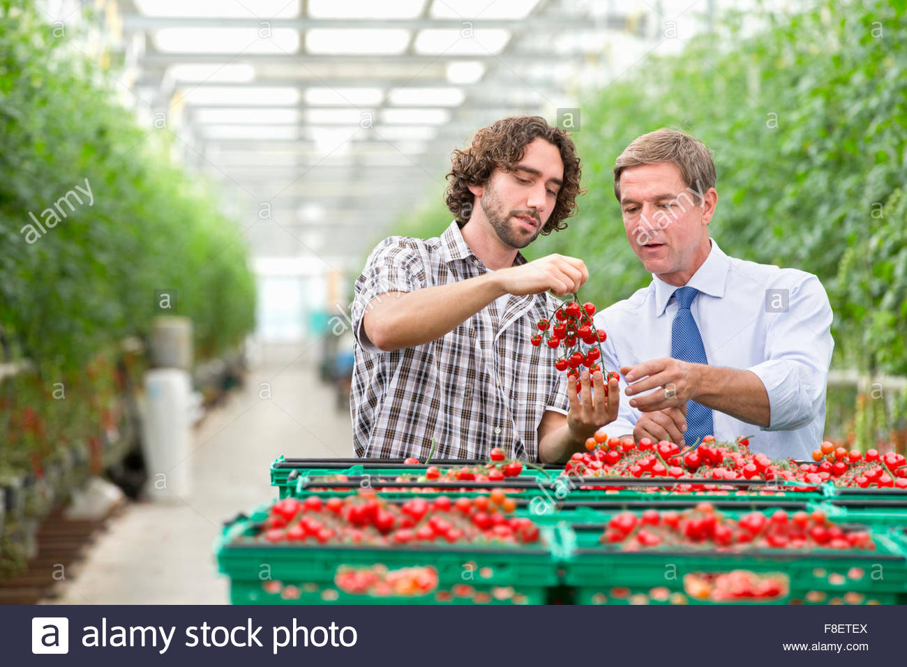 Businessman and grower inspecting ripe red vine tomatoes in crates in greenhouse - Stock Image
