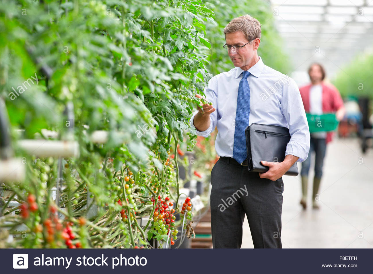 Businessman inspecting tomato plants in greenhouse - Stock Image