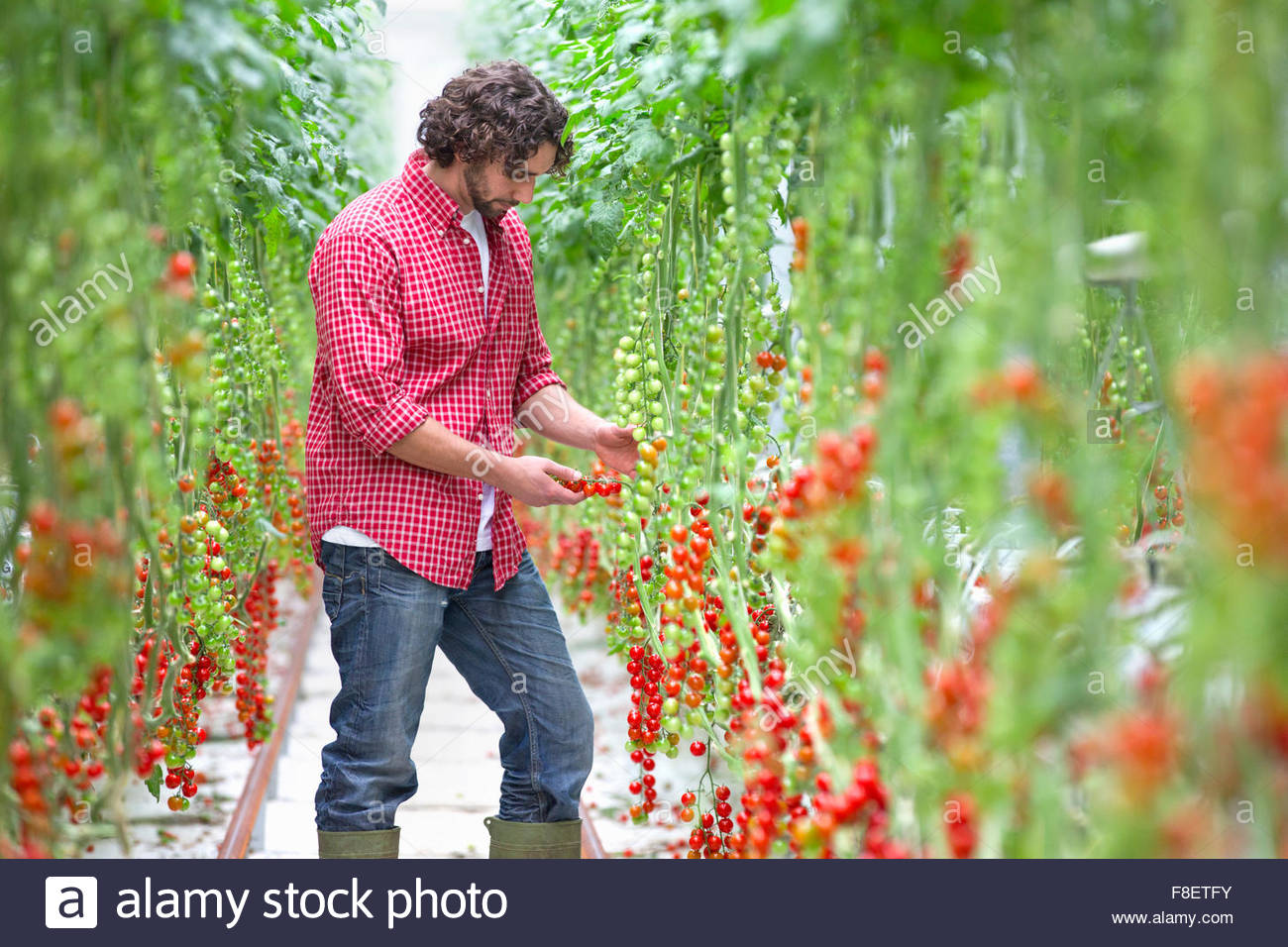 Worker inspecting vine tomato plants in greenhouse - Stock Image