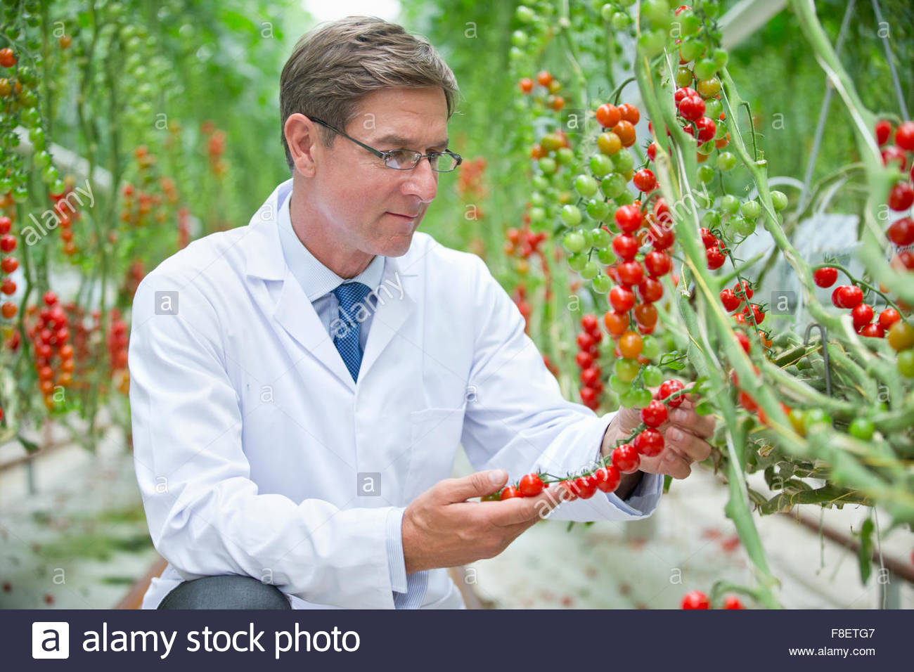Food scientist examining ripe red vine tomato plants - Stock Image
