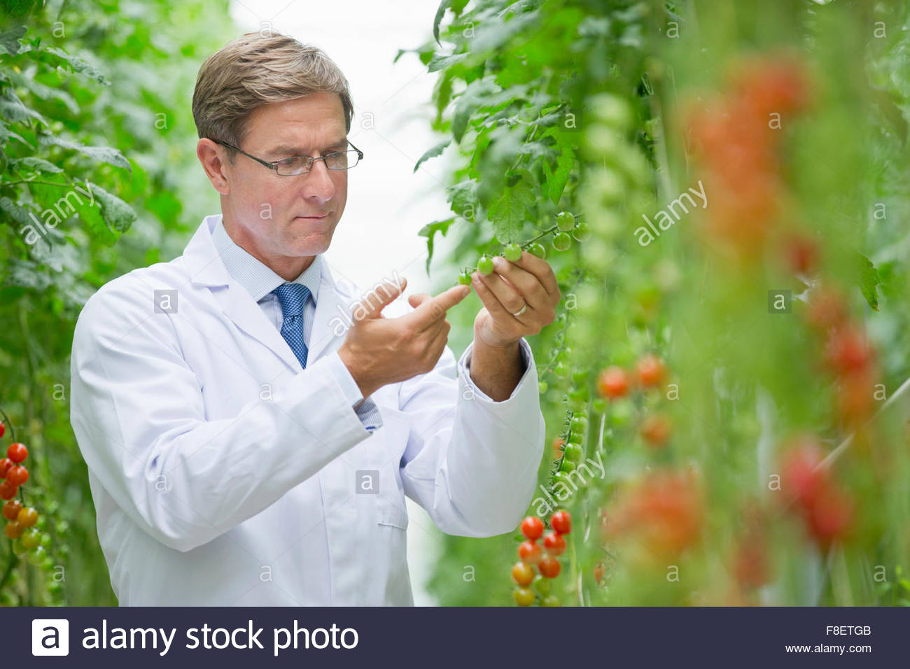 Focused food scientist examining vine tomato plants in greenhouse Stock Photo