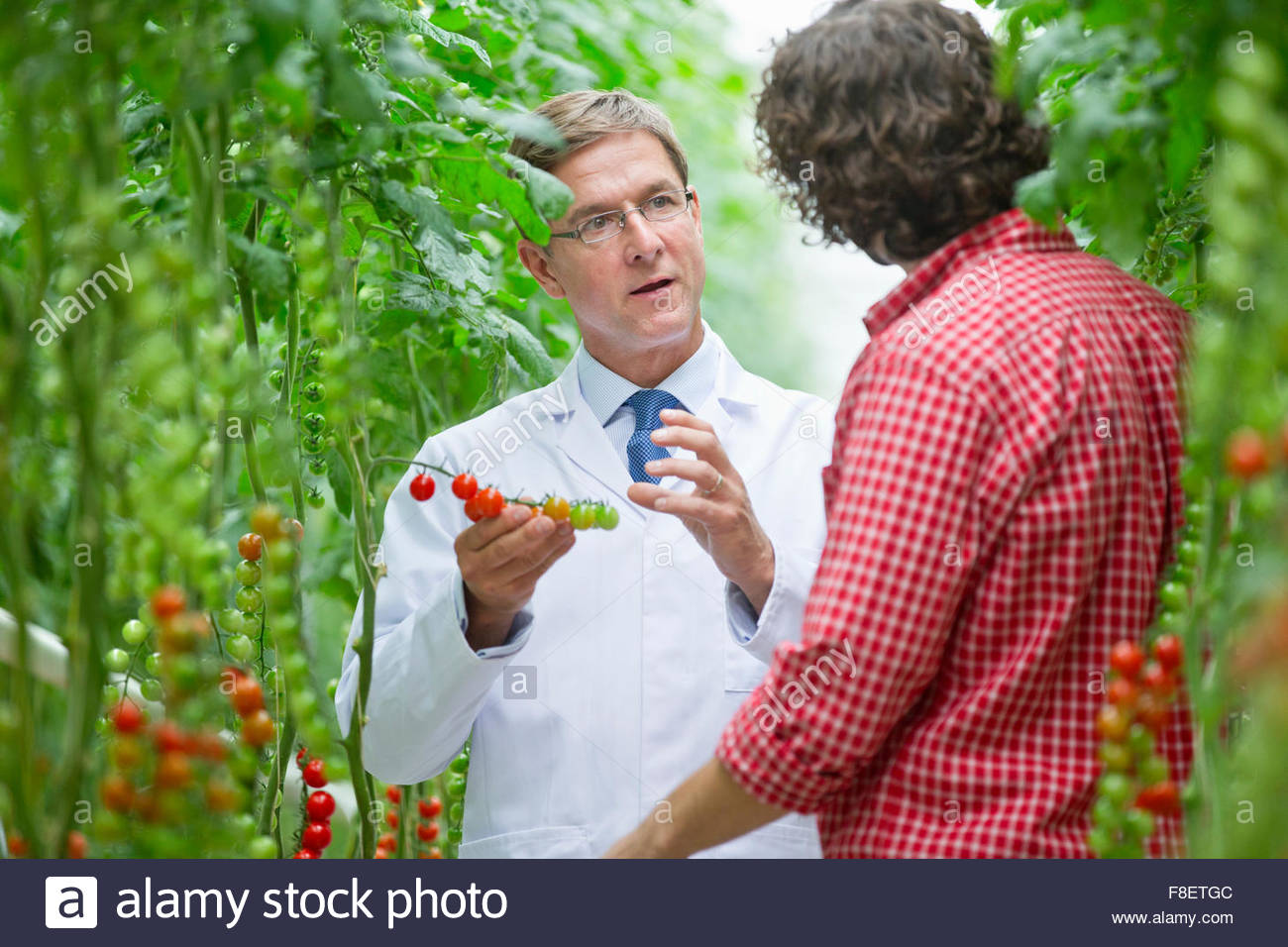Food scientist and grower examining tomatoes ripening on vine - Stock Image