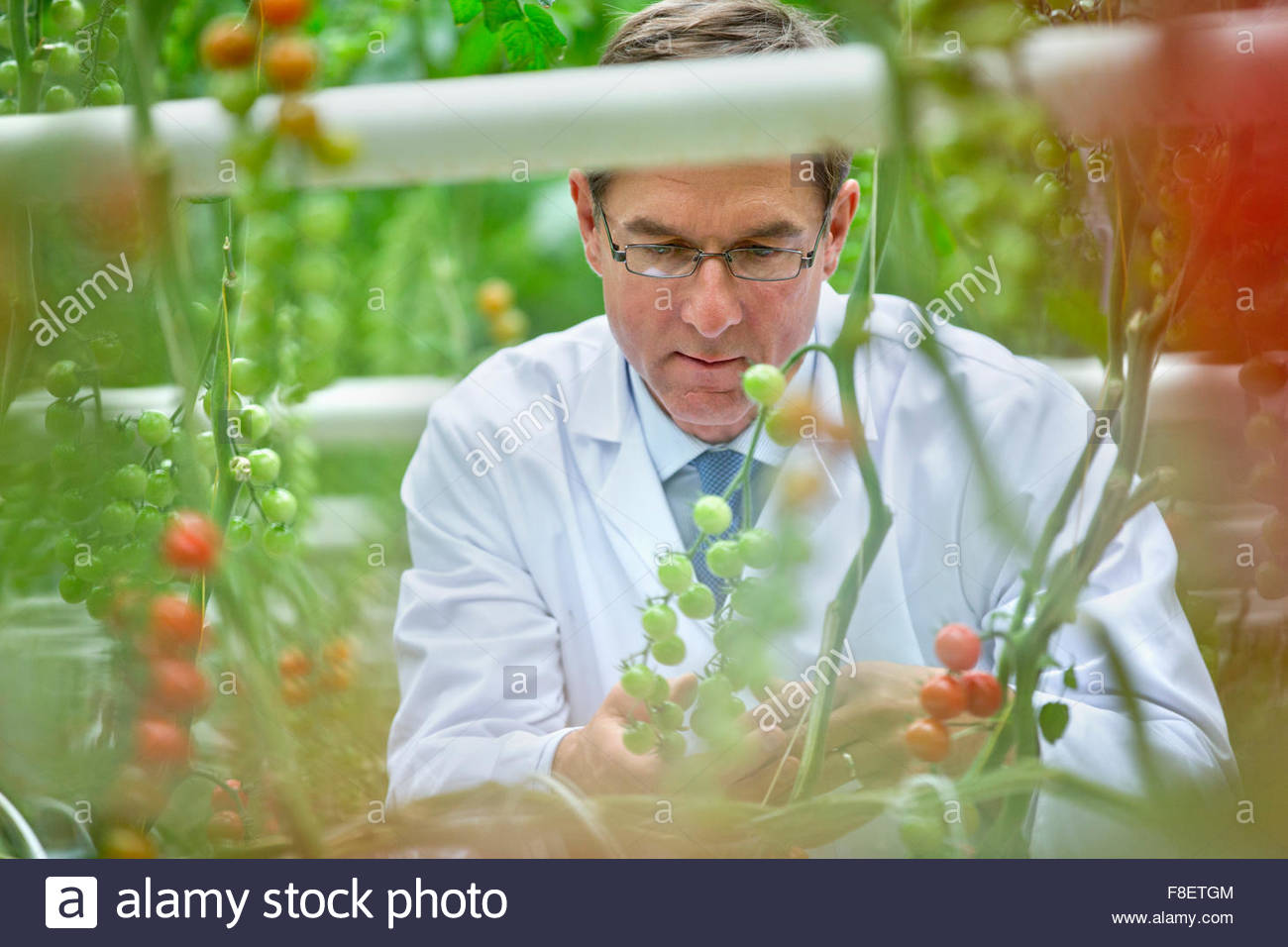 Food scientist examining tomatoes ripening on vine - Stock Image