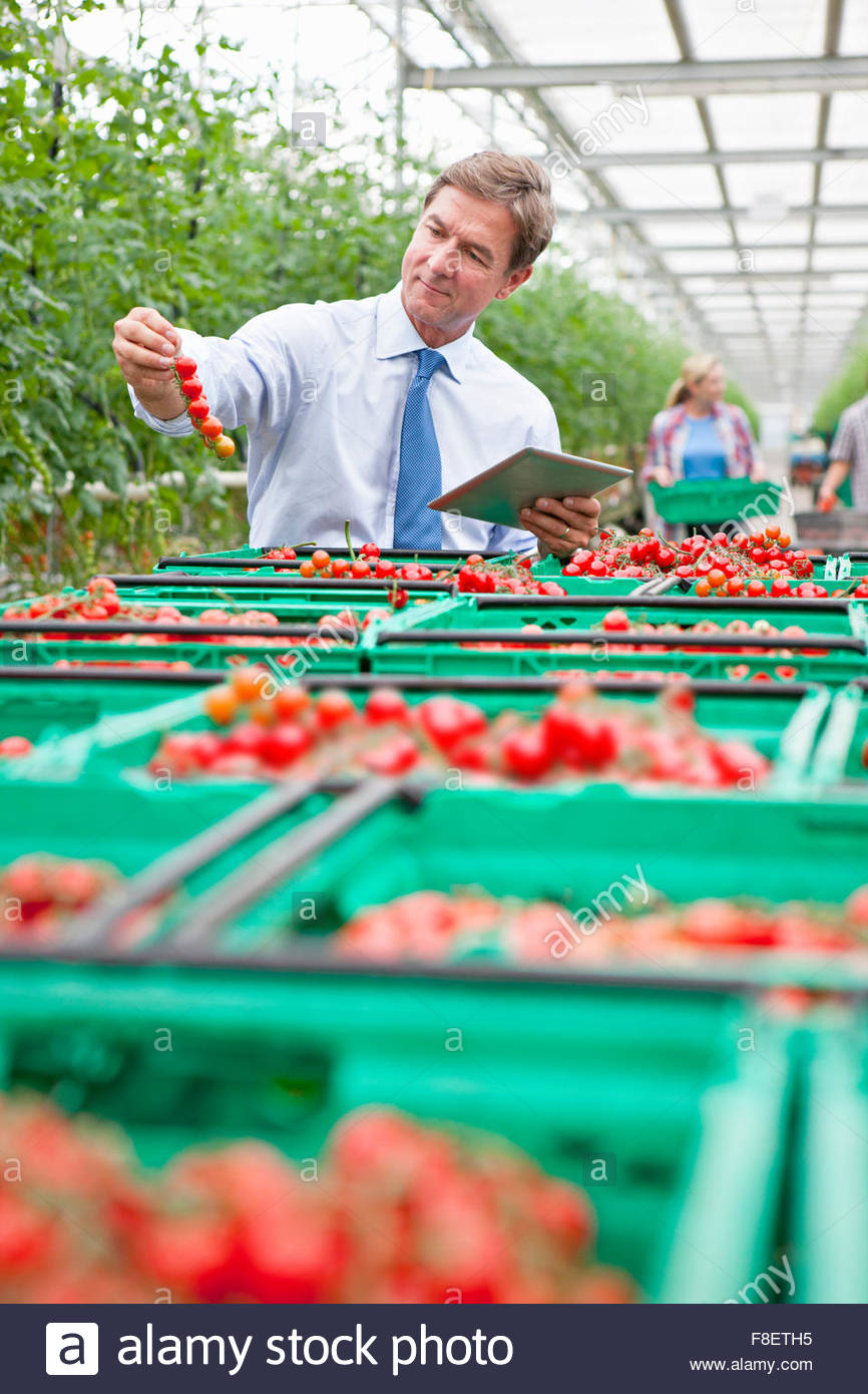 Businessman with digital tablet inspecting ripe red vine tomatoes in greenhouse - Stock Image