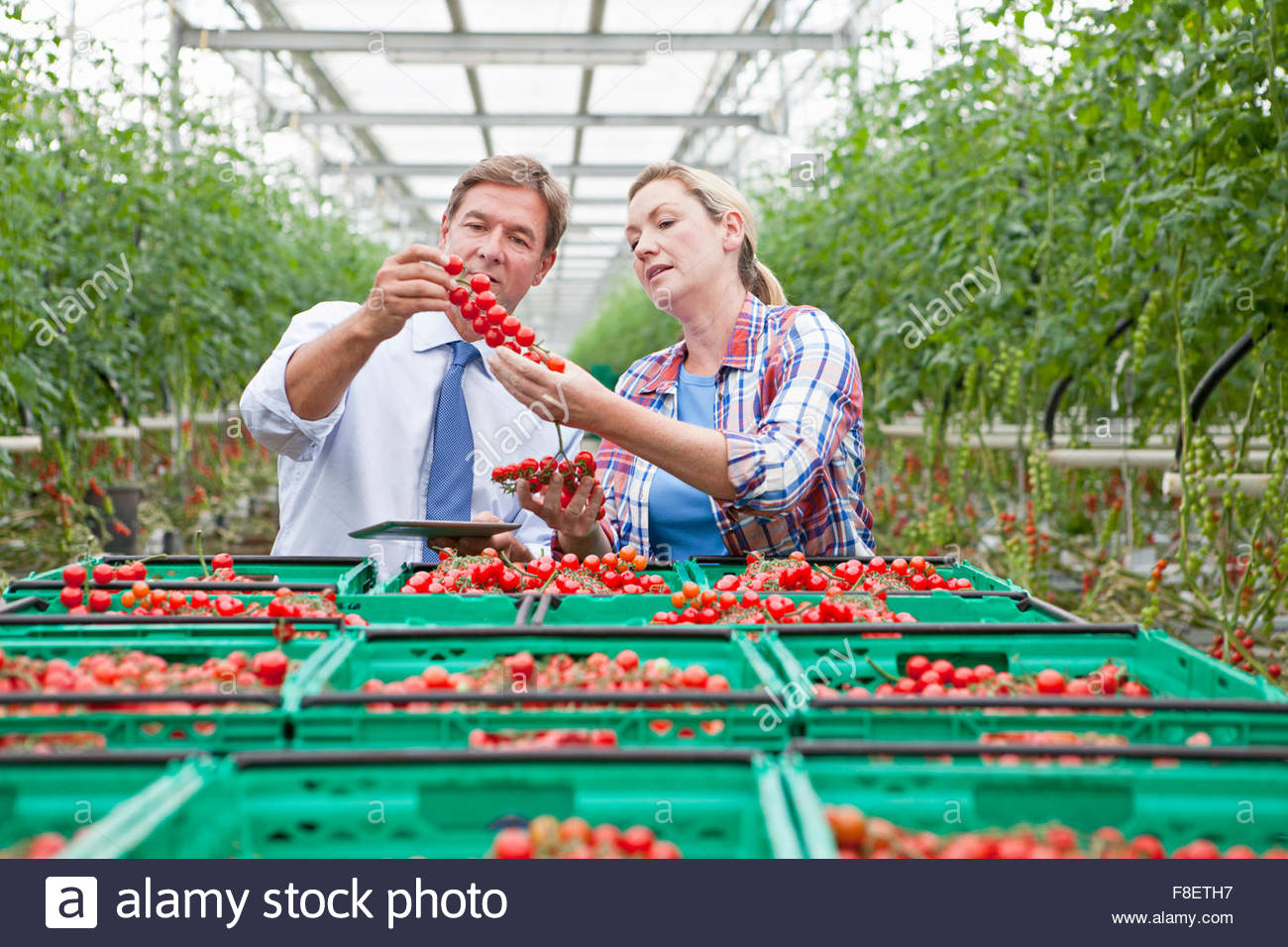 Businessman and grower inspecting ripe red vine tomatoes in greenhouse - Stock Image