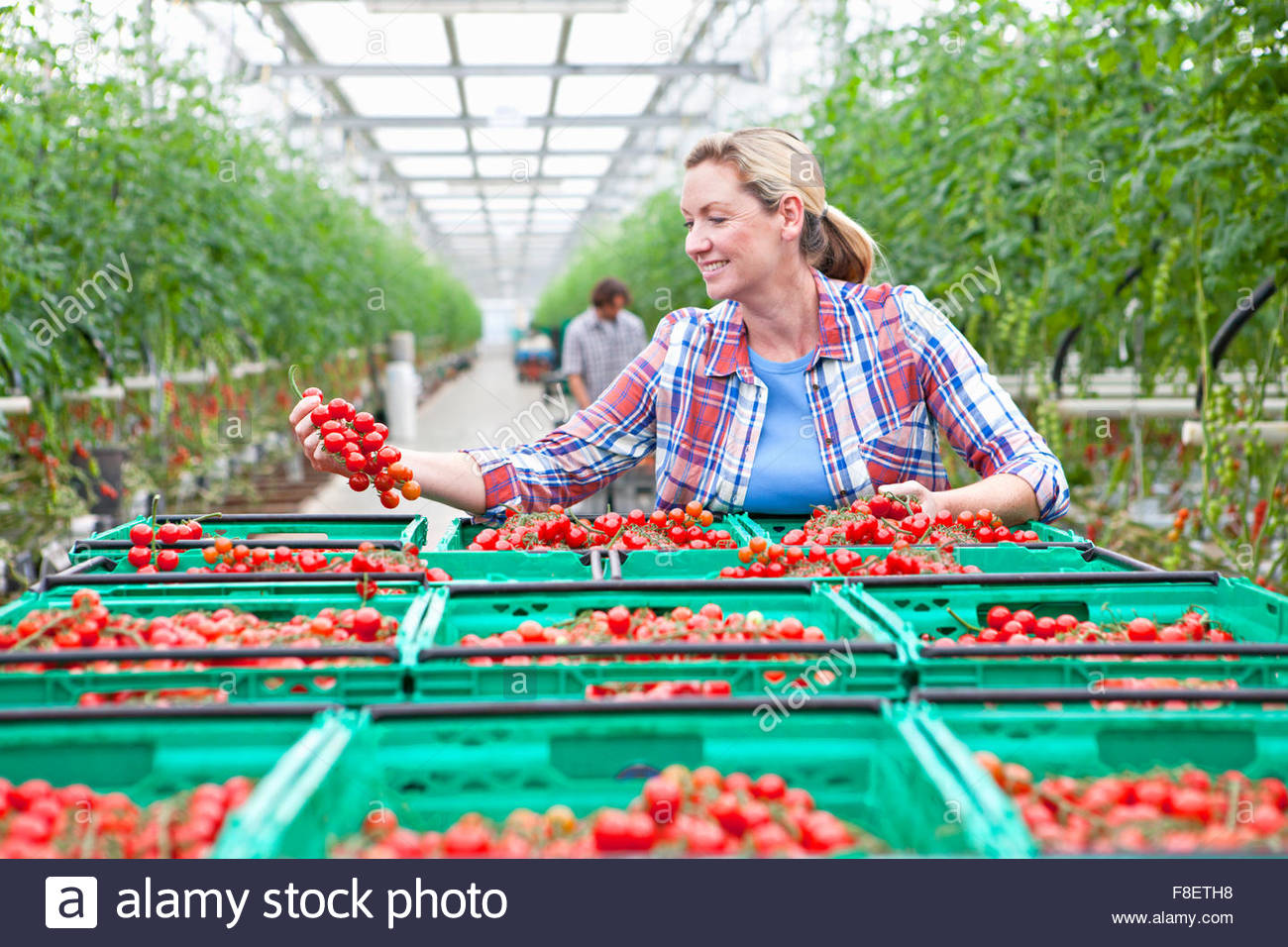 Smiling grower inspecting ripe red vine tomatoes in greenhouse - Stock Image