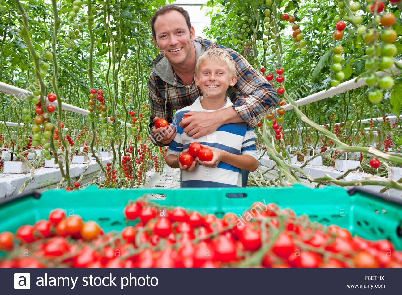 Portrait smiling father and son harvesting ripe red vine tomatoes in greenhouse - Stock Image
