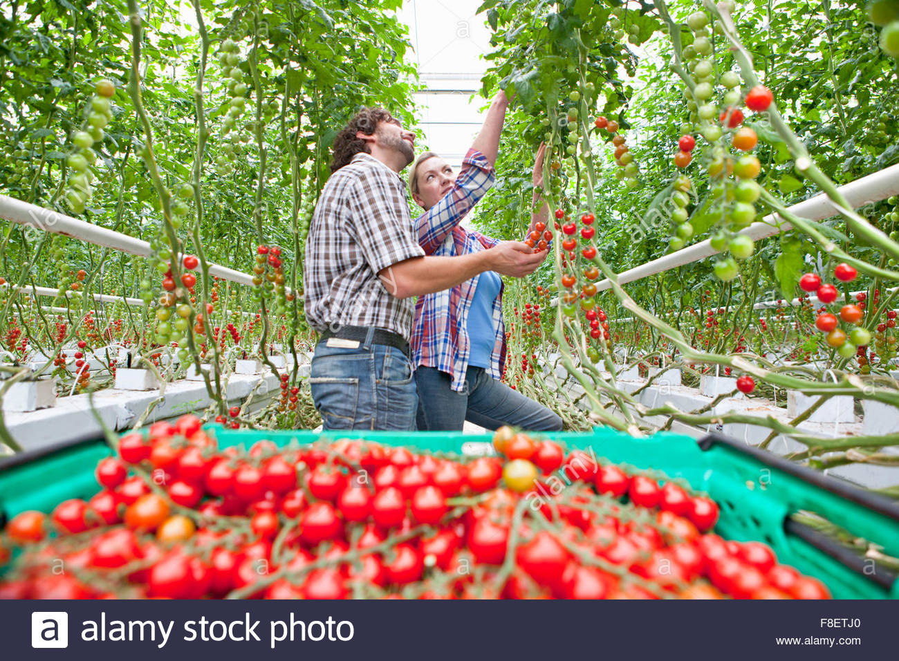 Growers harvesting ripe red vine tomatoes in greenhouse - Stock Image