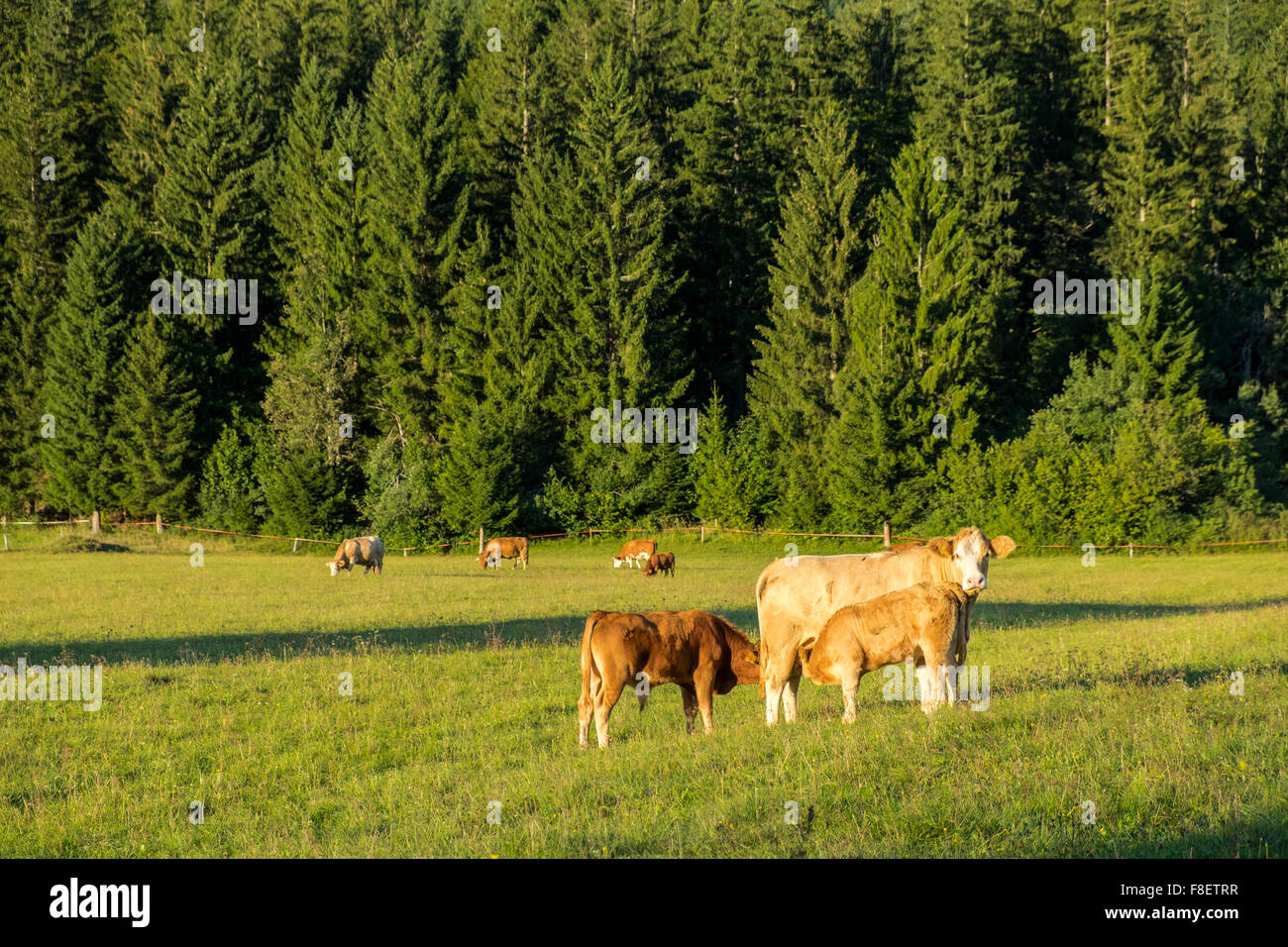 Cows at Loski Potok, Slovenia - Stock Image