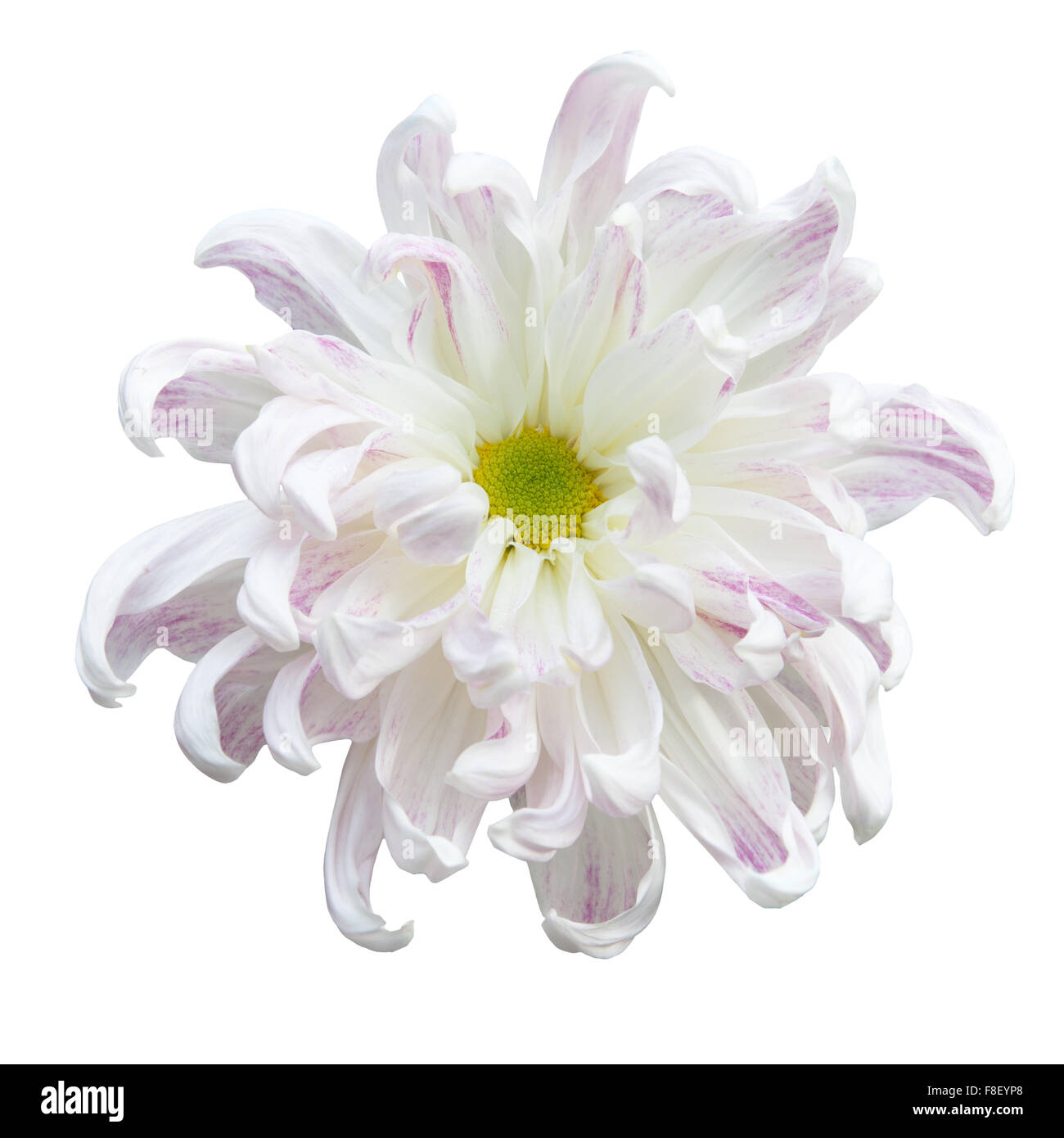 Daisy flower meaning stock photos daisy flower meaning stock beautiful white autumn irregular incurve chrysanthemummeaning big chrysanthemum isolated on white background izmirmasajfo