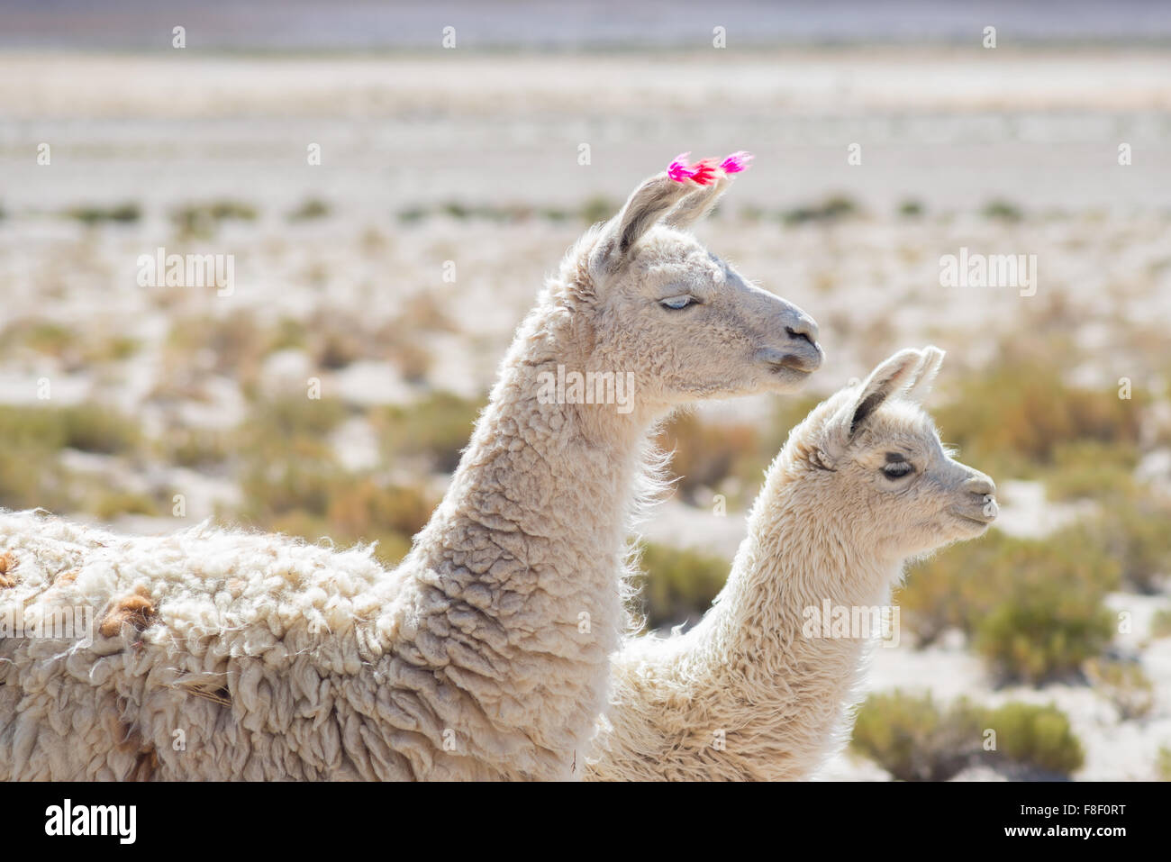 Couple of llamas on the Andean highland in Bolivia. Adult with baby animal. Side telephoto view. - Stock Image