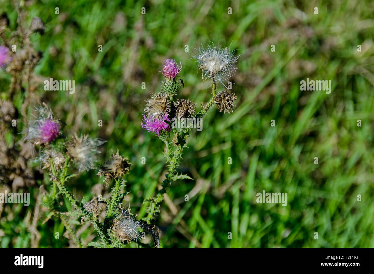 Thistle flowers, seed and insect in field - Stock Image