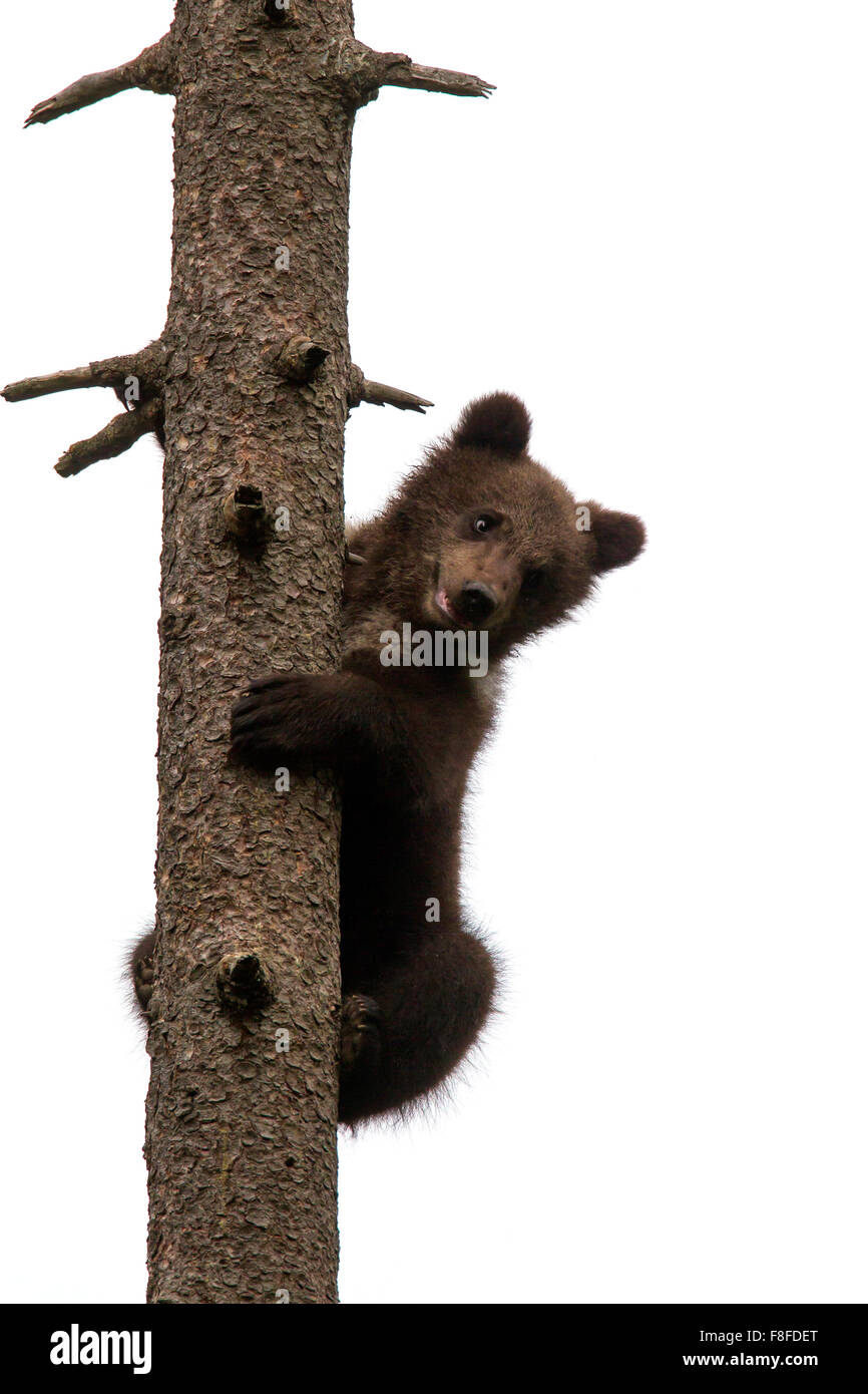 Brown bear (Ursus arctos) cub climbing pine tree and looking down against white background - Stock Image