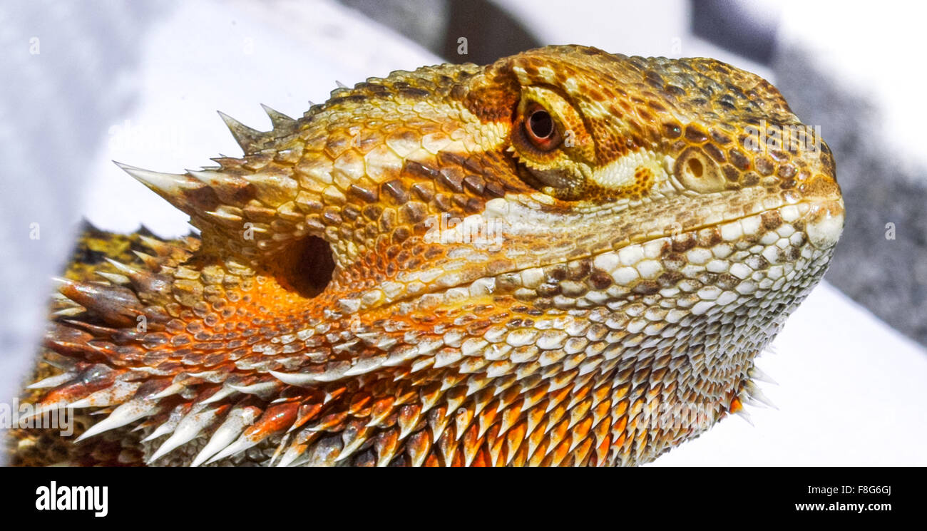 Pet German Giant Bearded Dragon, sunning outdoors, close up detail of head. - Stock Image