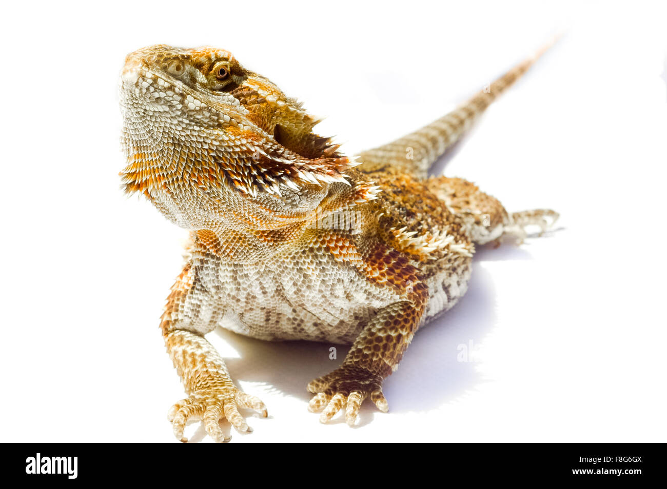 I'm so handsome - Pet German Giant Bearded Dragon, isolated sunning outdoors. - Stock Image