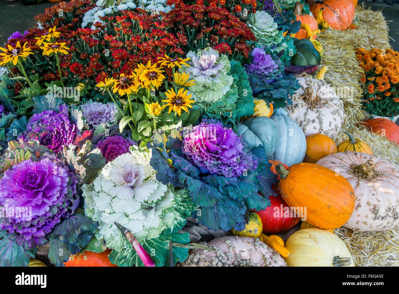 Fall display of colour Thanksgiving autumn cabbages - Stock Image
