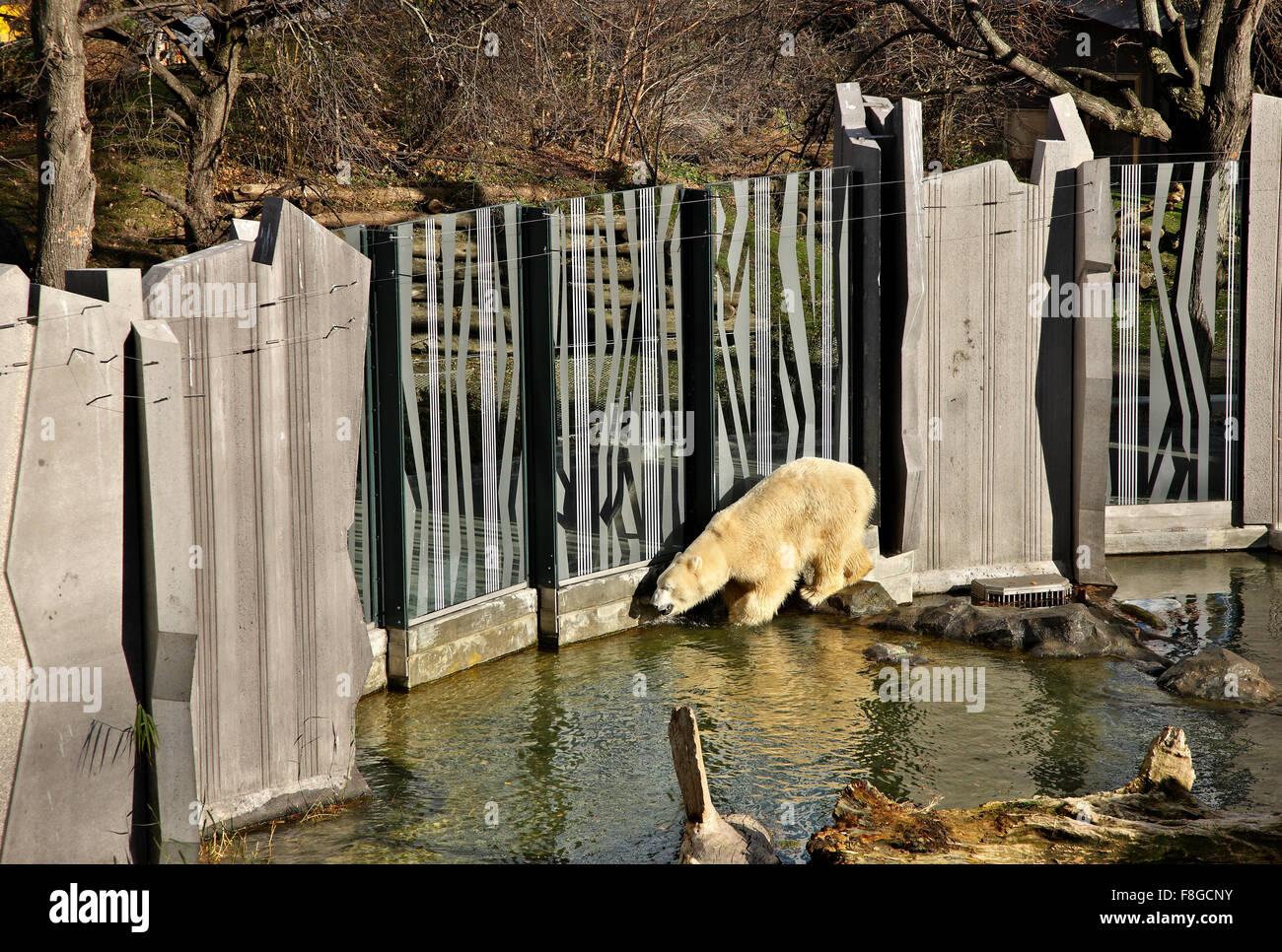 Polar Bear In The Zoo Tiergarden Of Schonbrunn Palace Vienna