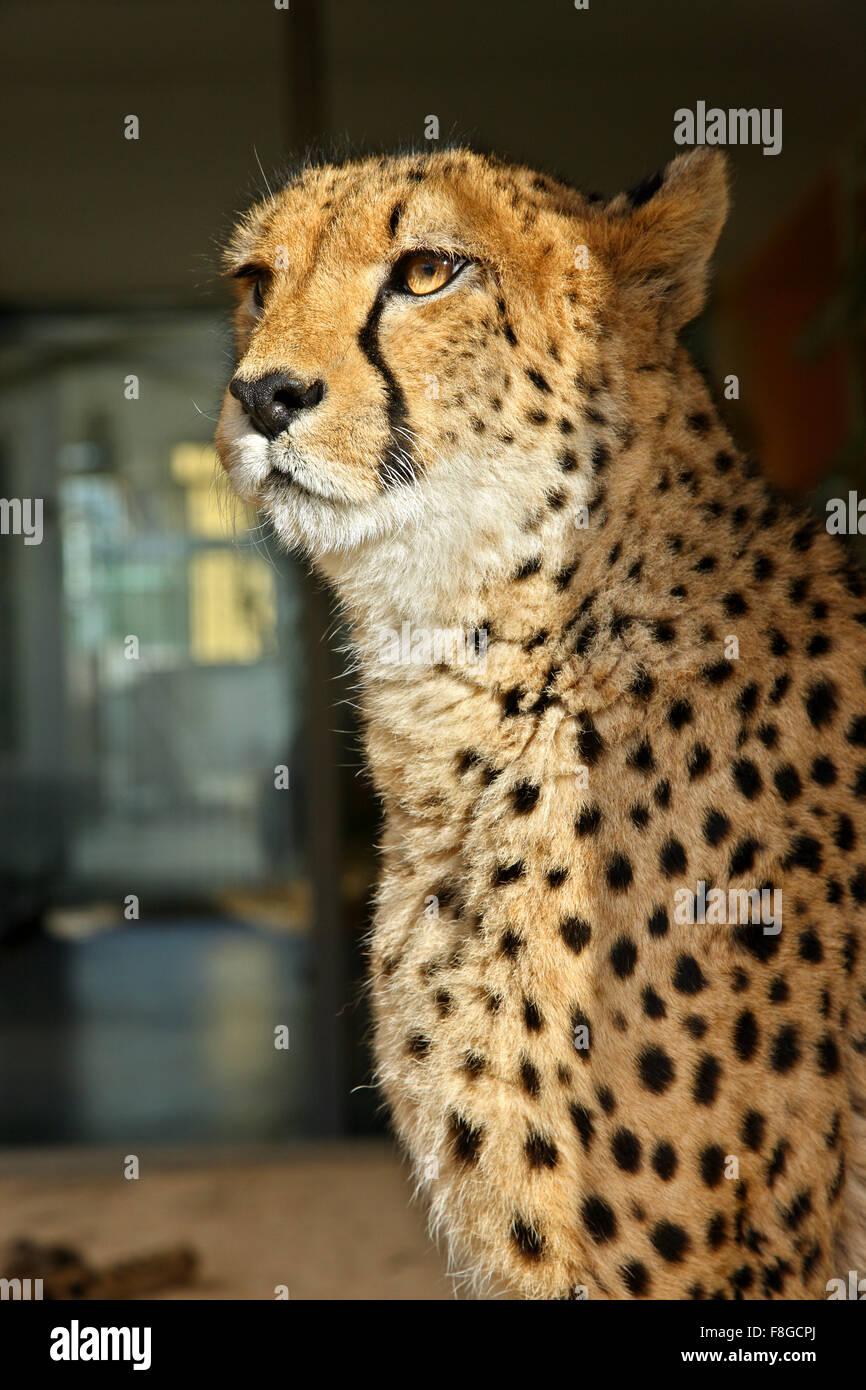 Leopard in the Zoo (Tiergarden) of Schonbrunn palace, Vienna, Austria. Stock Photo
