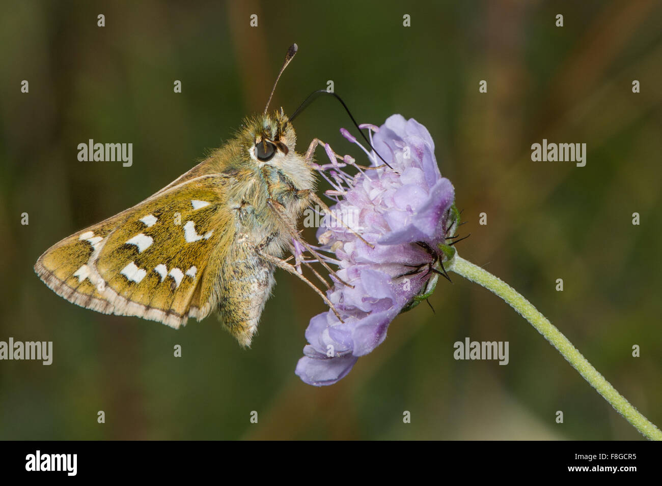 Silver-spotted skipper (Hesperia comma) nectaring on scabious Stock Photo