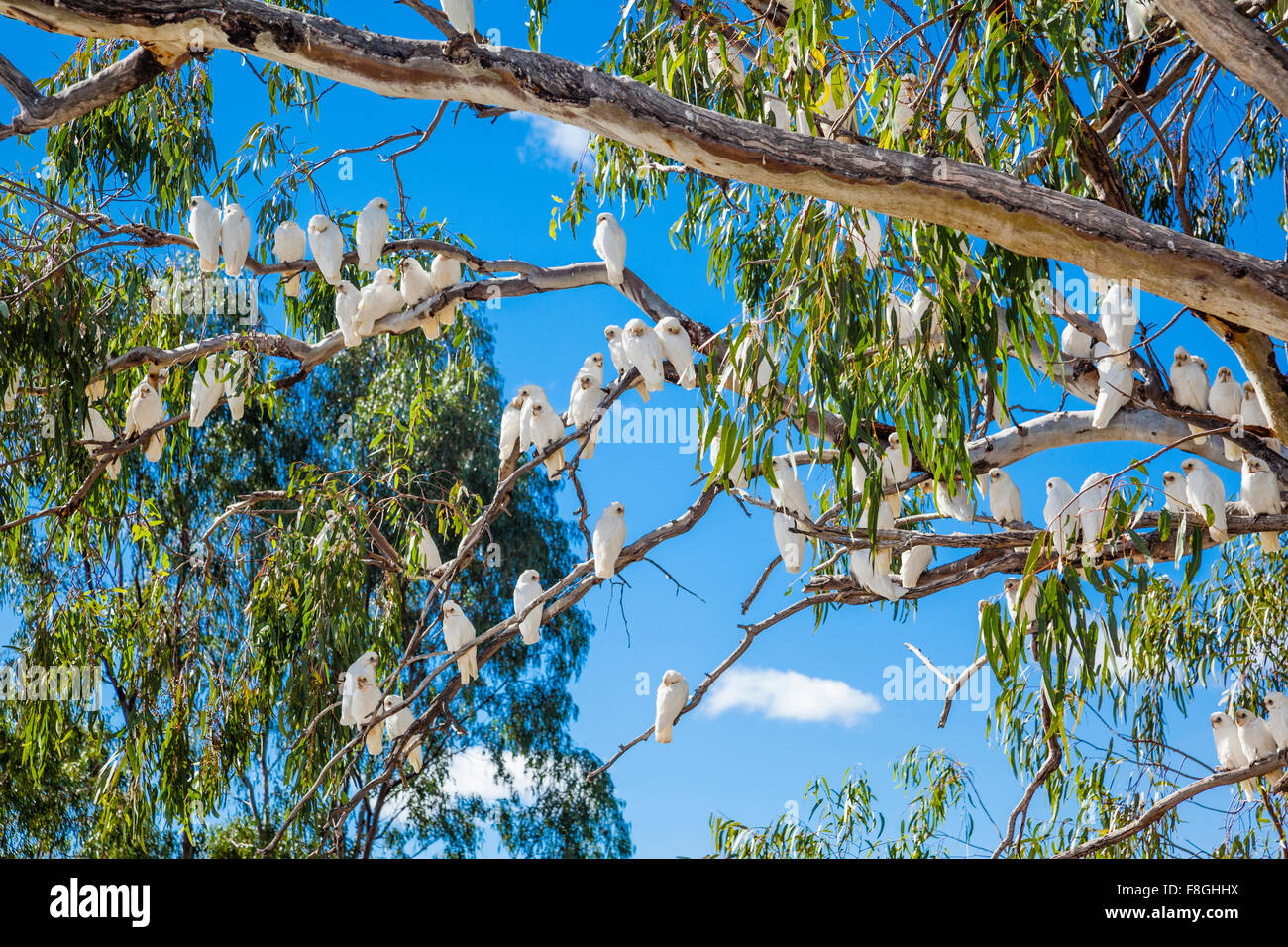 large flock of corellas on a gum tree at the Darling River, Bourke, North West New South Wales, Australia - Stock Image