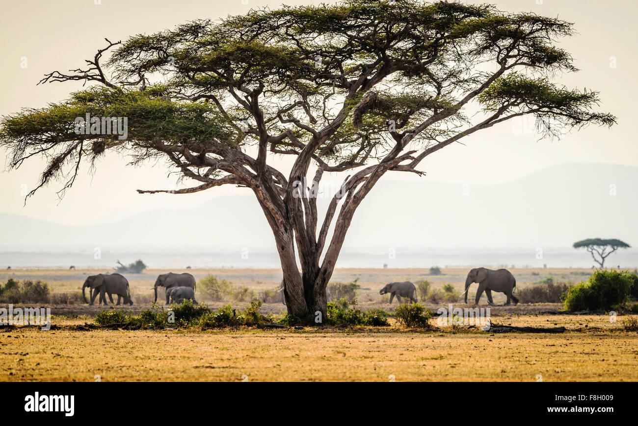 Elephants under trees in savanna landscape - Stock Image