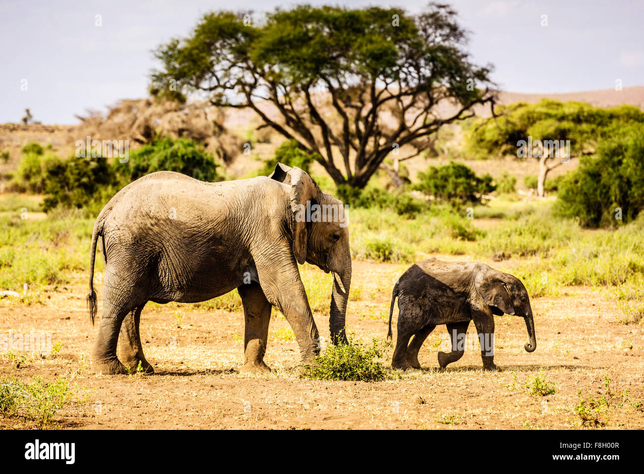 Elephant and calf walking in sand - Stock Image