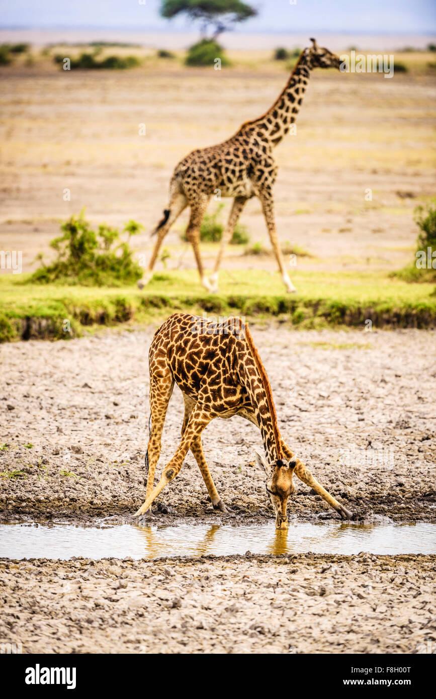 Giraffe drinking at water hole - Stock Image