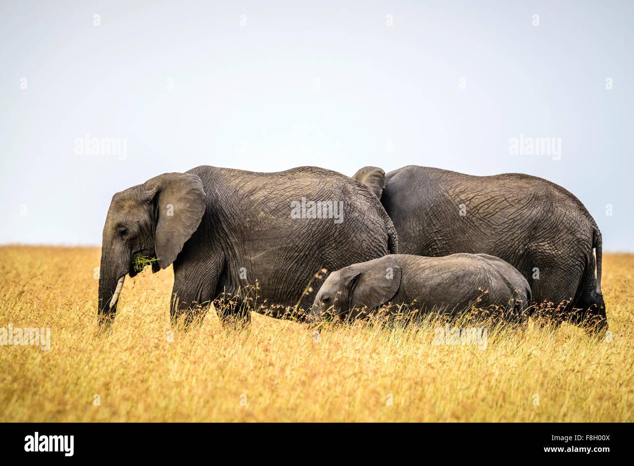 Elephants and calf walking in savanna - Stock Image