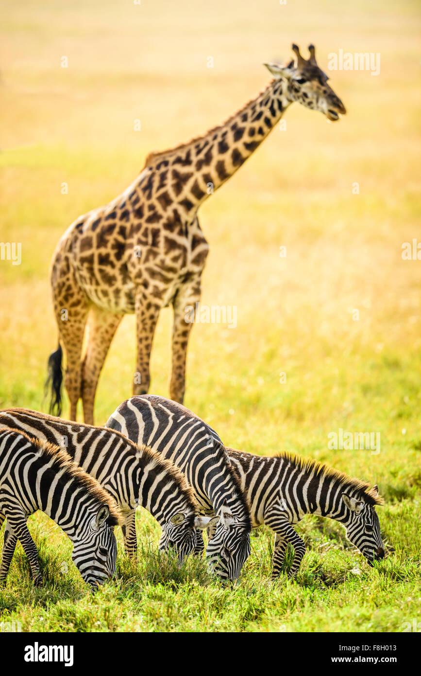 Giraffes and zebra grazing in savanna - Stock Image