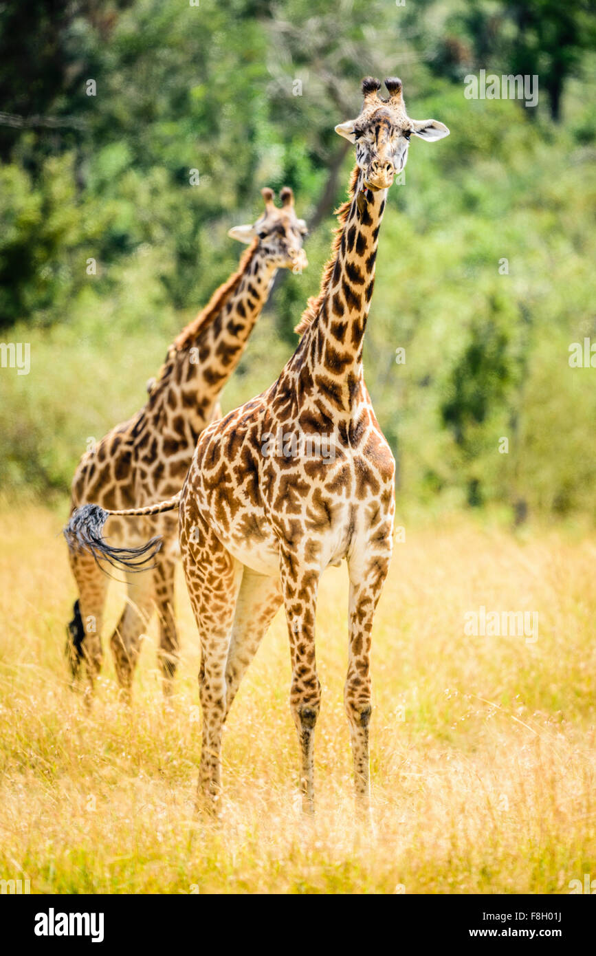Giraffes walking in savanna - Stock Image