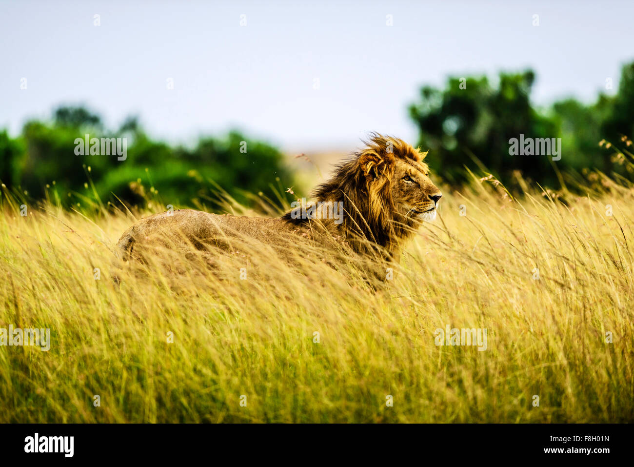 Lion standing in tall grass - Stock Image
