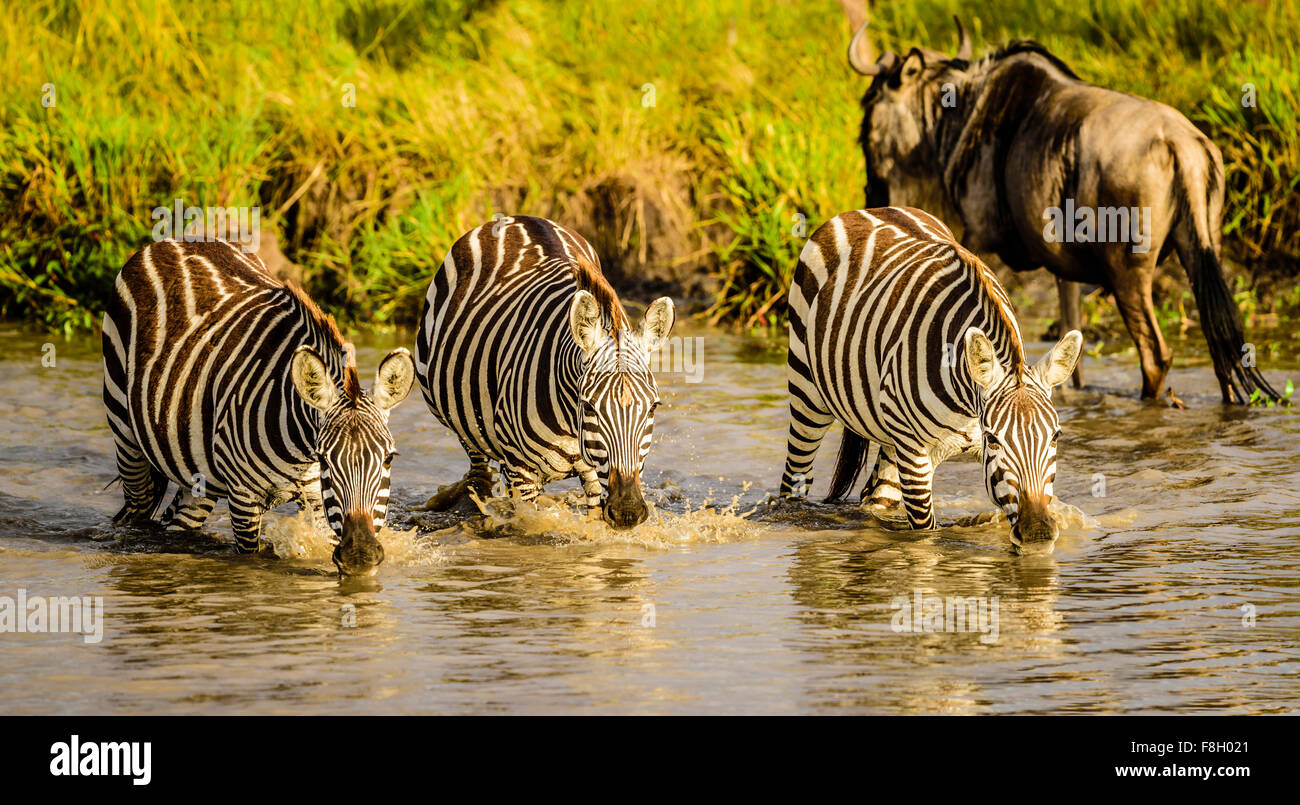 Zebras drinking at water hole - Stock Image