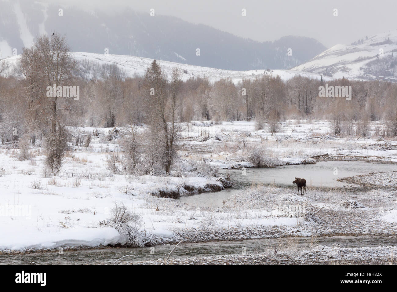 A moose calf stands alone in the Gros Ventre River, Grand Teton National Park, Wyoming - Stock Image