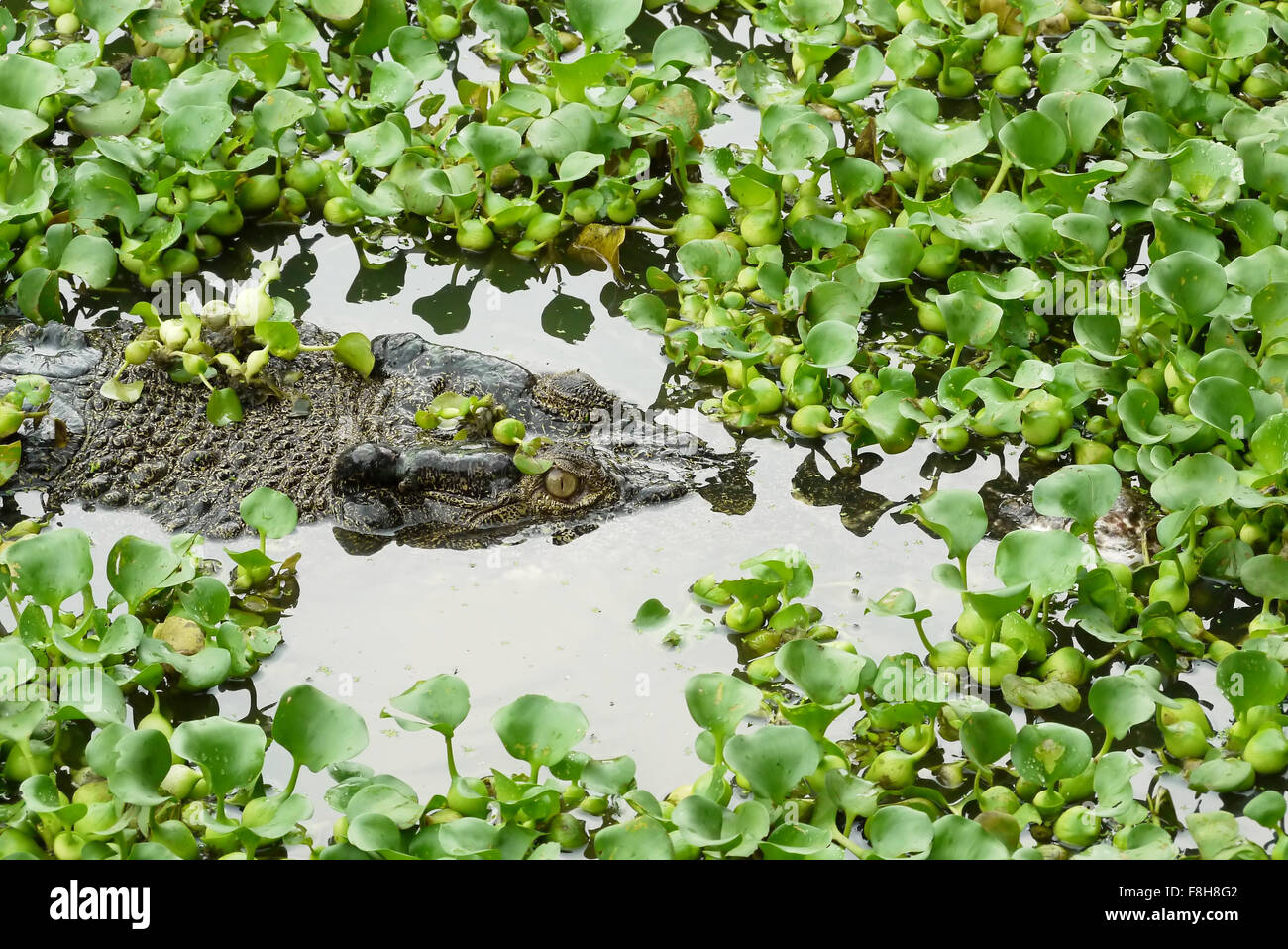 Portrait of an Estuarine Crocodile - Stock Image