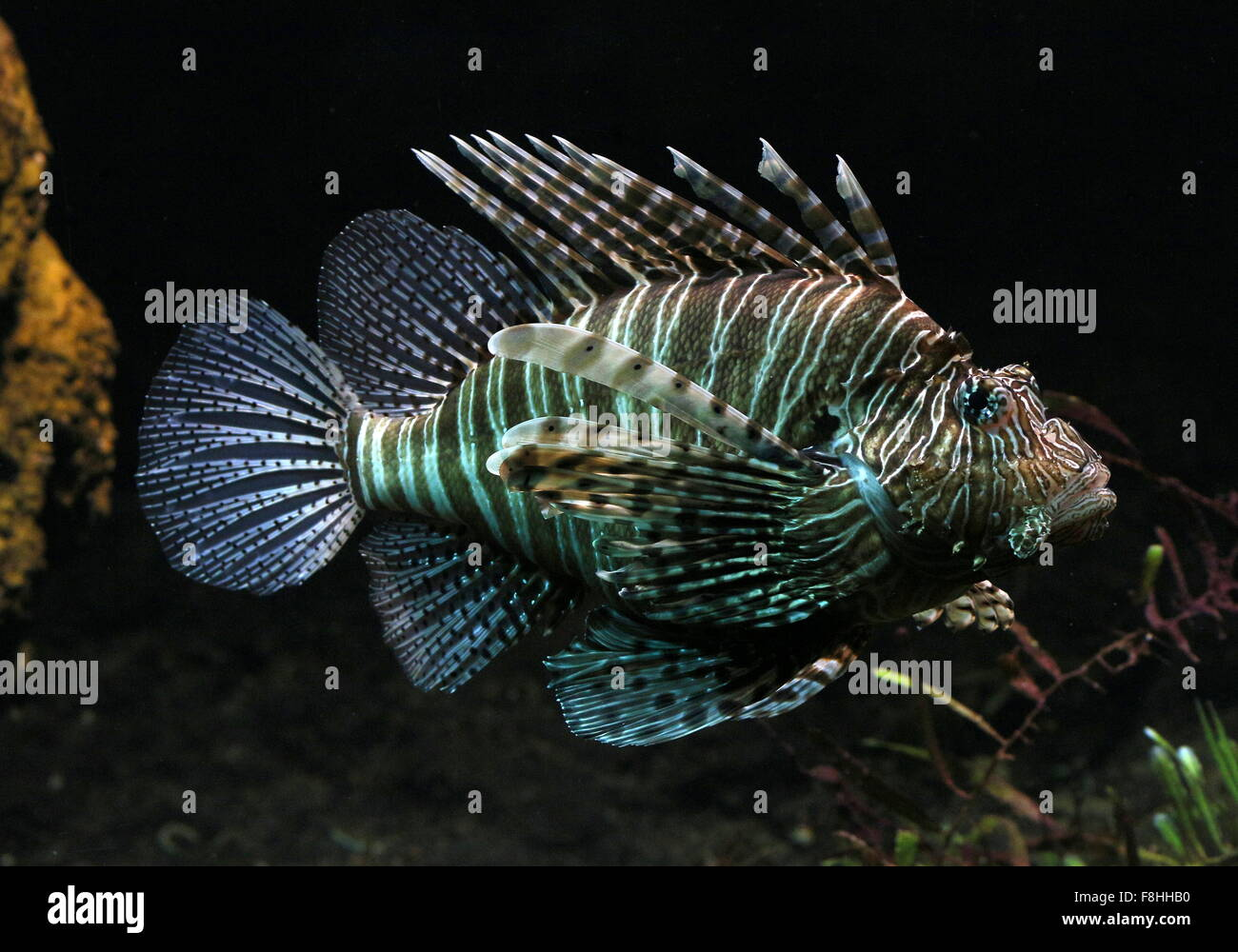 exotic looking mature indo-pacific red lionfish ( pterois volitans