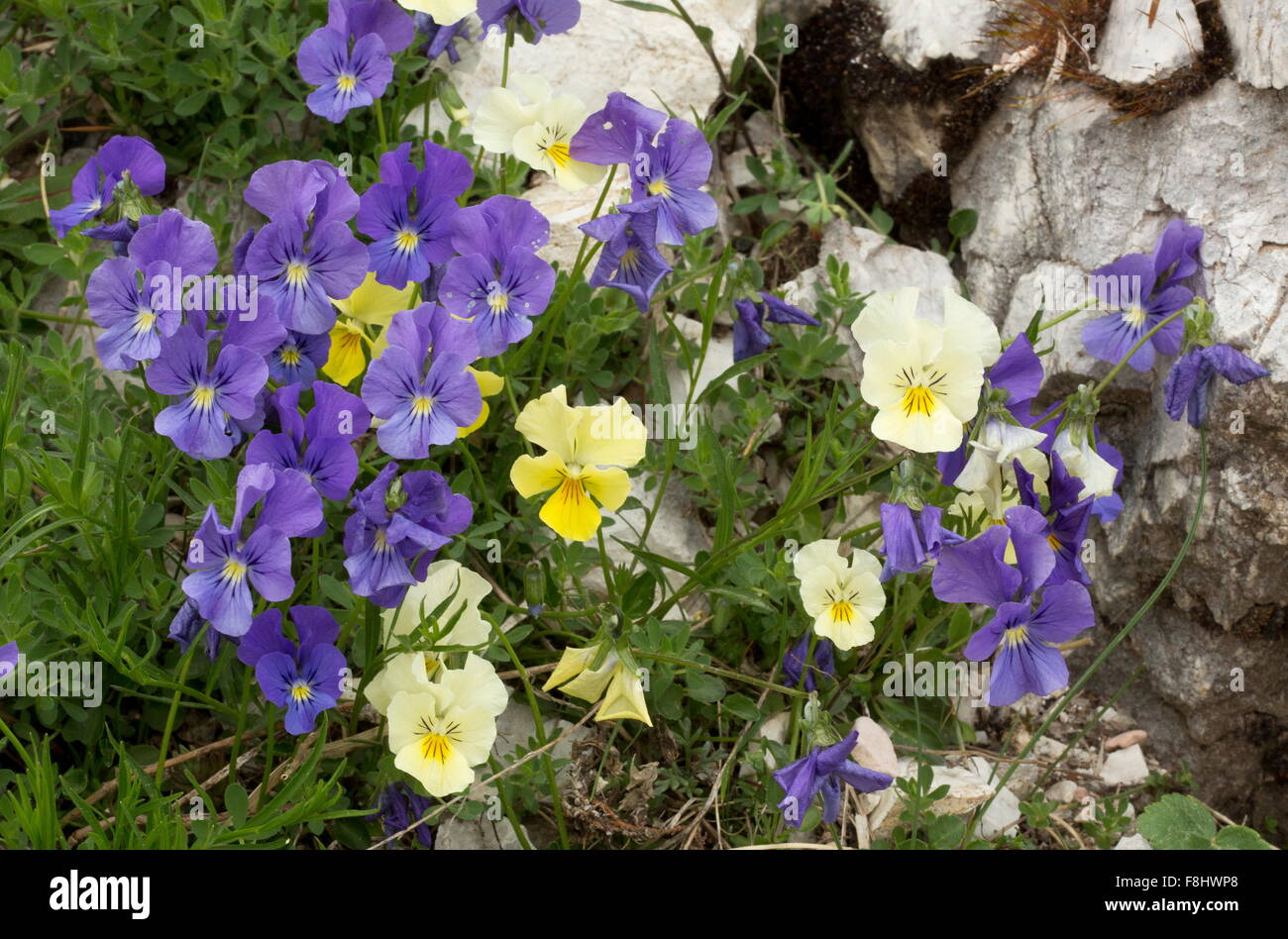 Apennine pansy, Viola eugeniae, in yellow and purple, - Stock Image