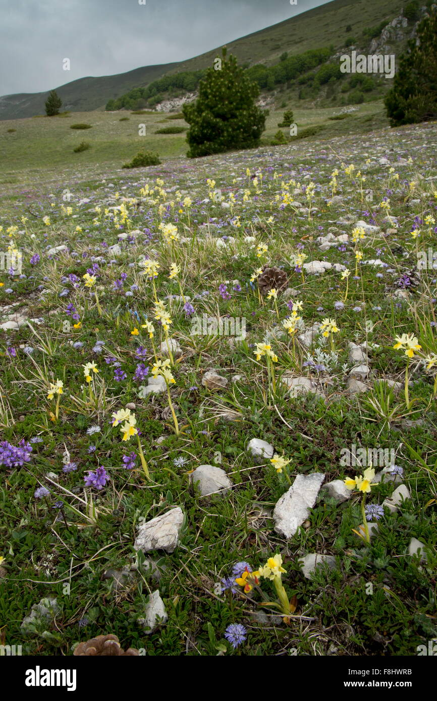 Few-flowered orchid, Orchis pauciflora, Globularia etc in flowery montane grassland, Monti Sibillini, Italy - Stock Image