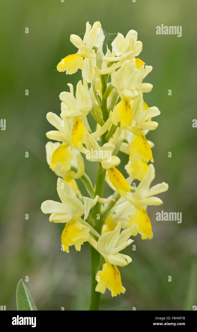Few-flowered orchid, Orchis pauciflora in flower in montane grassland, Sibillini, Italy. - Stock Image