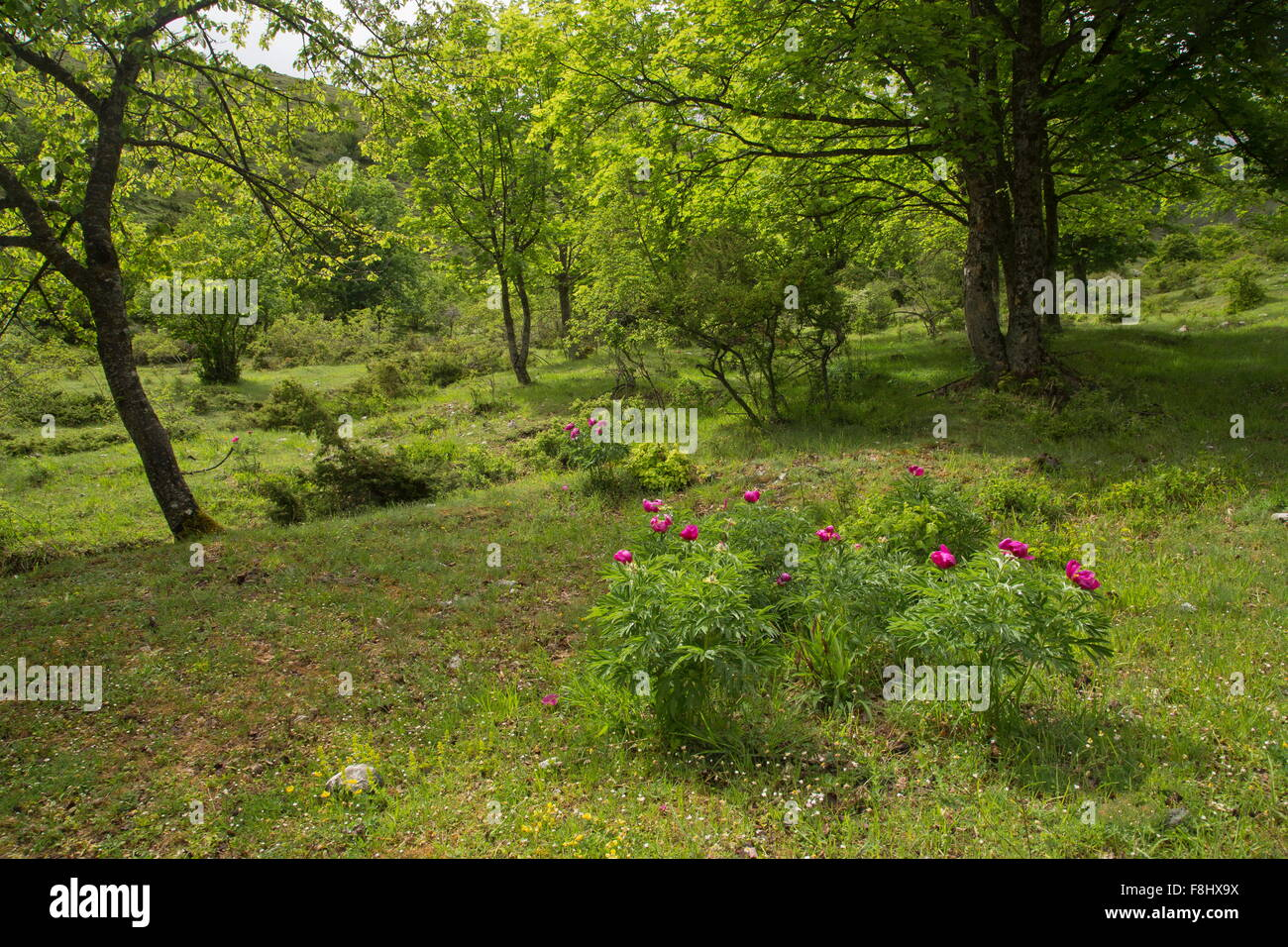 Common peony, Paeonia officinalis in flower in the Gran Sasso National Park, Apennines, Italy. - Stock Image