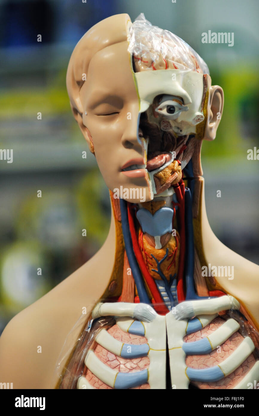 Human Head Anatomy And Biology Tool For School And Education Stock