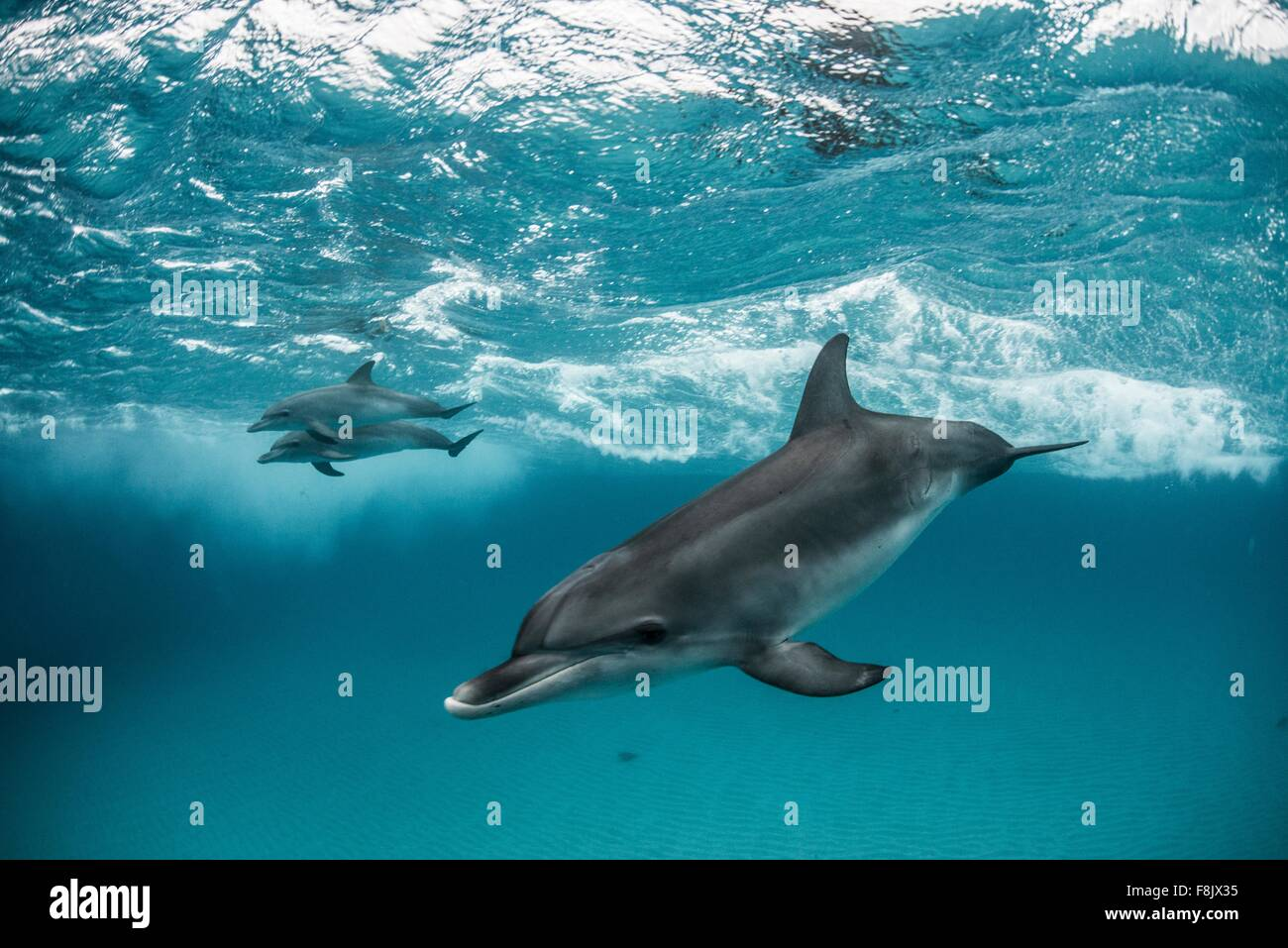 Atlantic spotted dolphins surfing on waves, looking at camera, Northern Bahamas Banks, Bahamas - Stock Image