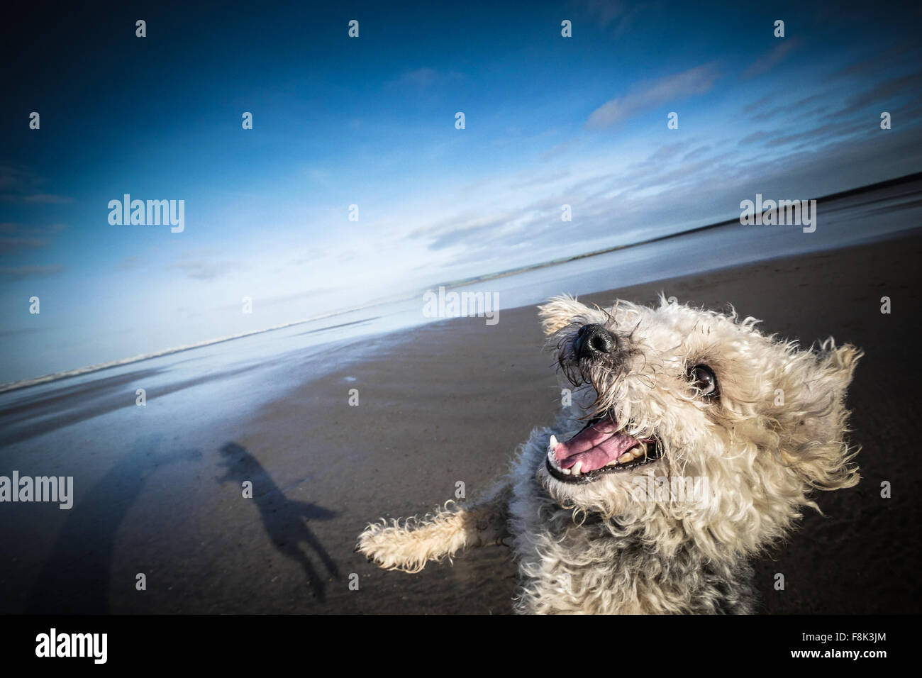 Jackapoo dog snarls with joy whilst playing ball on the beach - Stock Image