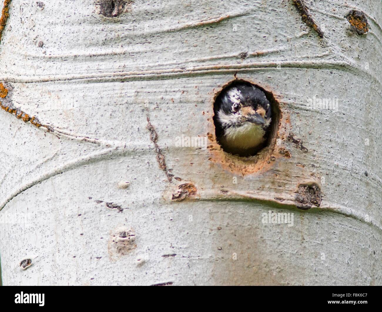 Woodpecker peering out of hole in birch tree, Yellowstone National Park, Wyoming, USA - Stock Image