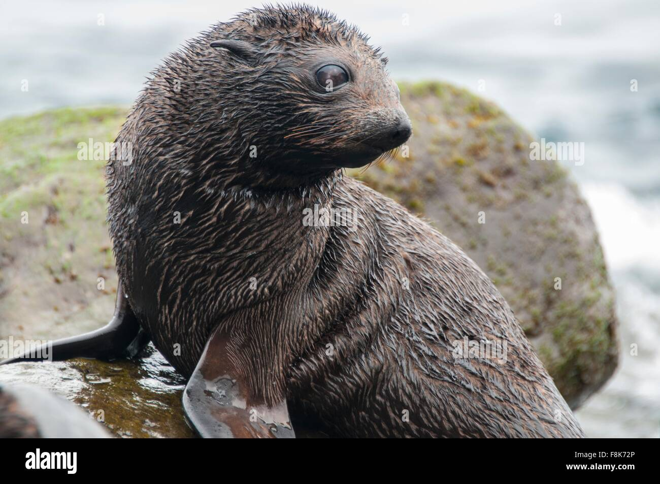 Guadalupe fur seal pup on rocks looking away, Guadalupe Island, Baja California, Mexico - Stock Image