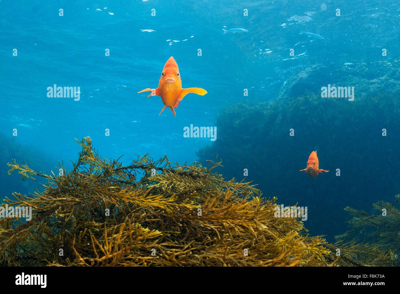 Front view of garibaldi fish over kelp reef, Guadalupe Island, Baja California, Mexico - Stock Image