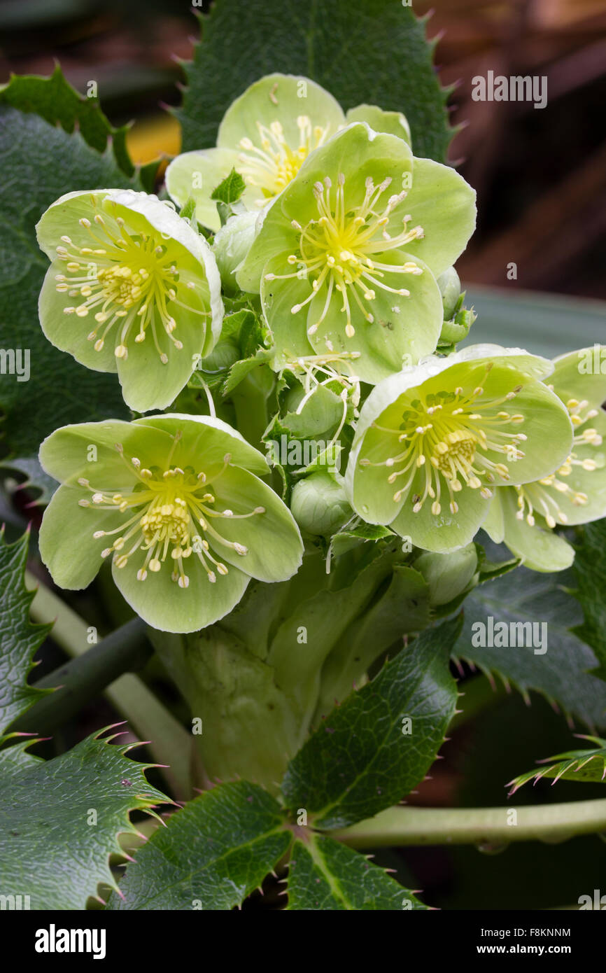 Winter flowers of the corsican hellebore helleborus argutifolius a winter flowers of the corsican hellebore helleborus argutifolius a spiky leaved evergreen perennial mightylinksfo