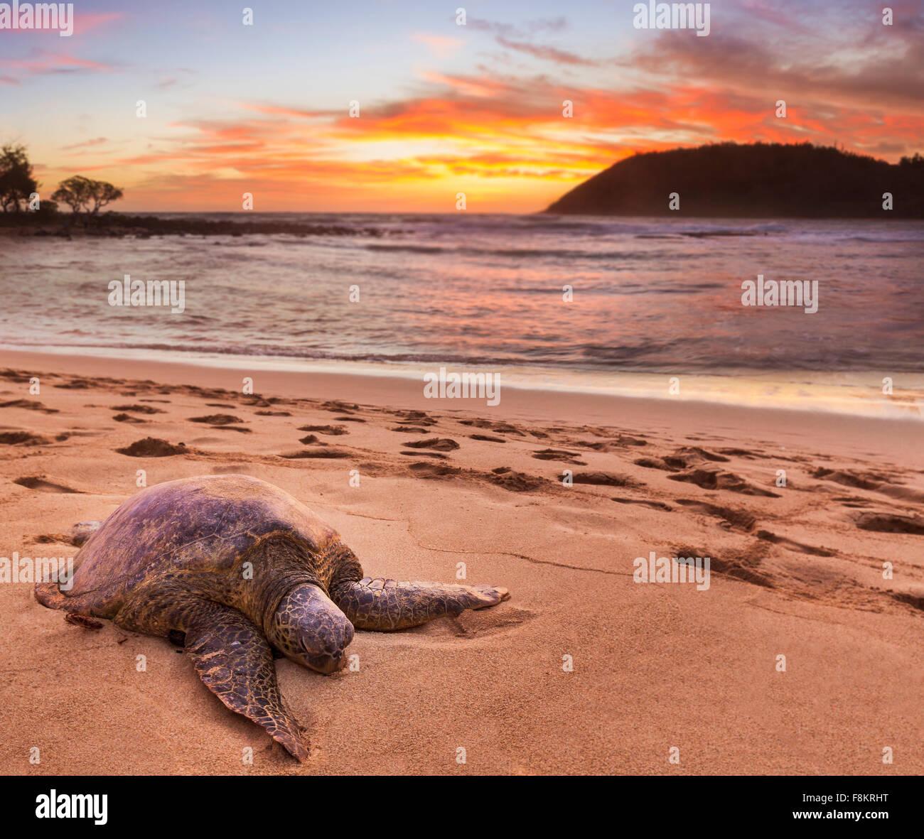 Green sea turtle - Chelonia mydas - on the sand at Moloa'a Beach on east coast of Kauai in Hawaii Stock Photo