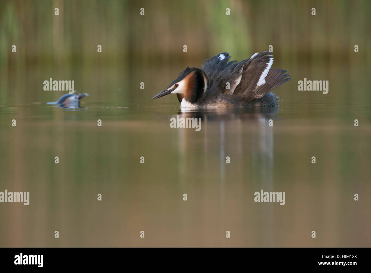 Great Crested Grebe / Great crestie / Haubentaucher ( Podiceps cristatus ) shows cat display, while partner surfaces. - Stock Image