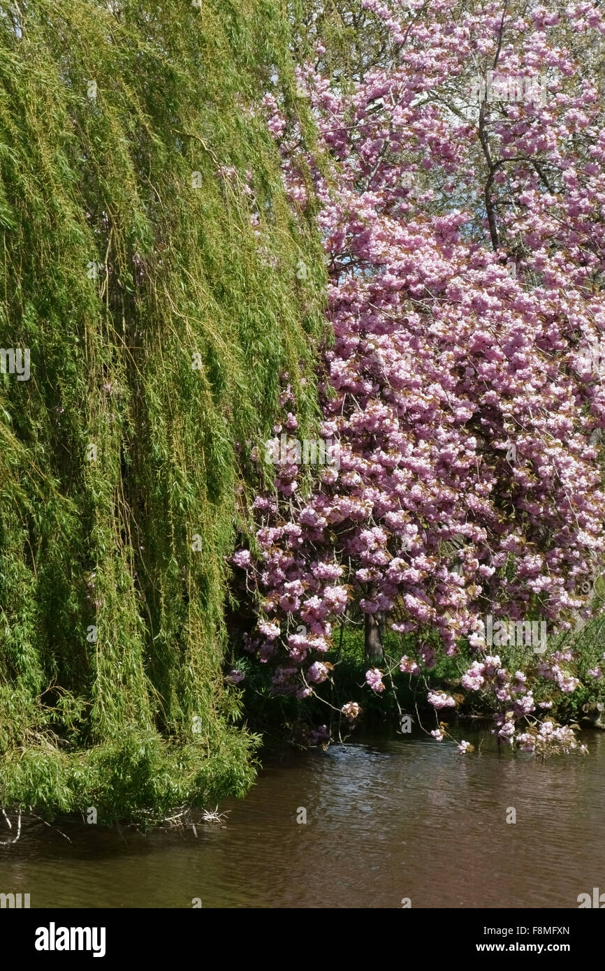 Pink ornamental flowewring cherry beside fresh foliage on weeping willow overhanging the Kennet & Avon Canal - Stock Image